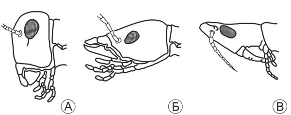 Голова насекомого - Типы постановки головы