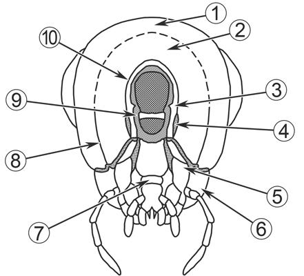 Зазатылок - Строение головы, вид снизу.