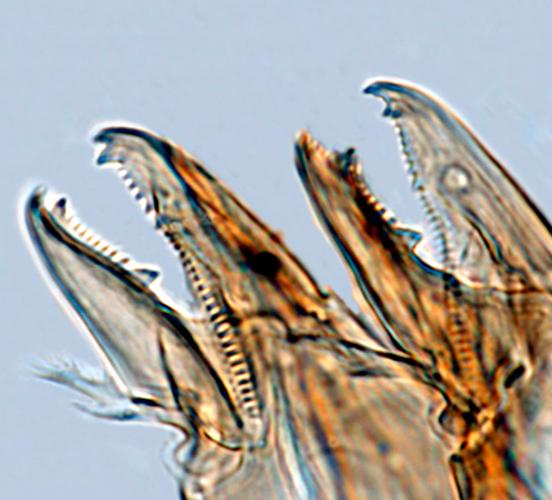 Хелицеры - Клешни хелицер