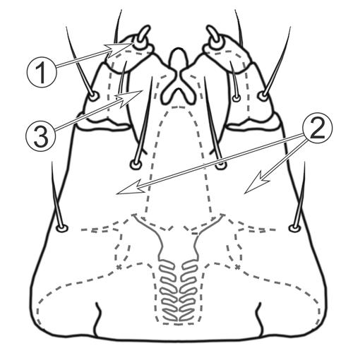 Гипостом - Гипостом (грызущий ротовой аппарат)