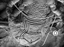 Опистосома - Опистосома