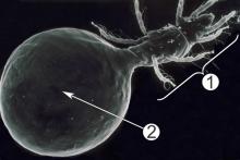 Опистосома - Опистосома у Pyemotes barbara