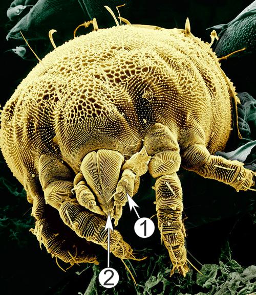 Педипальпы - Педипальпы, микрофотография