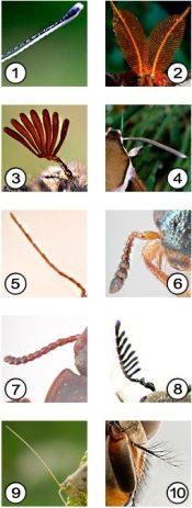 Усики насекомых - Типы усиков