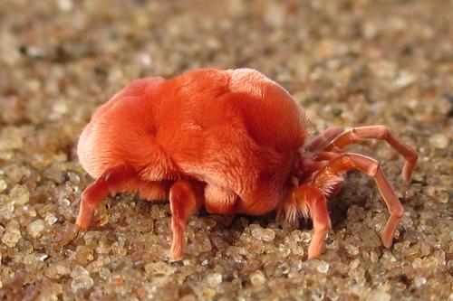 Покровы тела клещей - Клещ Trombidium grandissimum