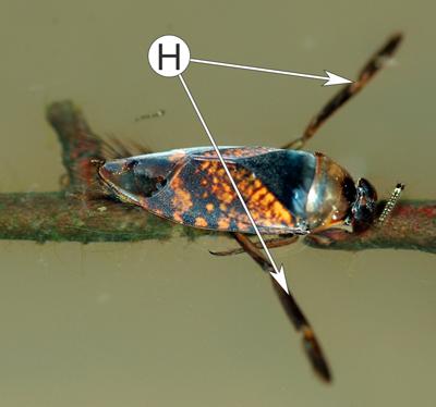 Ноги насекомых - Плавательные ноги