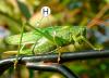 Ноги насекомых - Прыгательные ноги