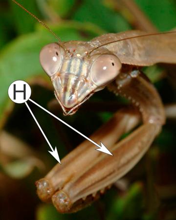 Ноги насекомых - Хватательные ноги