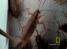 Таракановые (Тараканы) - <strong>Видео</strong>: Развитие Рыжих тараканов