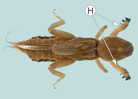 Ноги насекомых - Копательные ноги