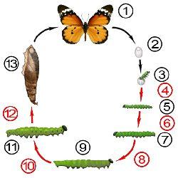 Линька - Линьки у бабочек