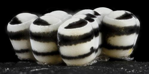 Яйцо членистоногих - Окрашенные яйца