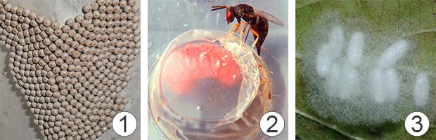 Яйцо членистоногих - Виды кладки