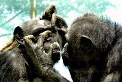 Семейство Педикулиды - Шимпанзе помогает сородичу </p> избавляться от паразитов