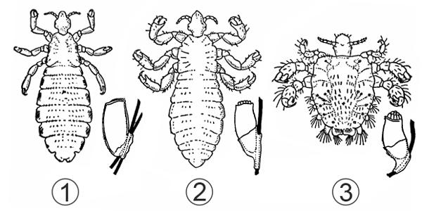 Семейство Педикулиды - Представители семейства: имаго и яйца