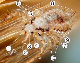 Семейство Педикулиды - Строение вши Pediculidae </p>на примере головной вши