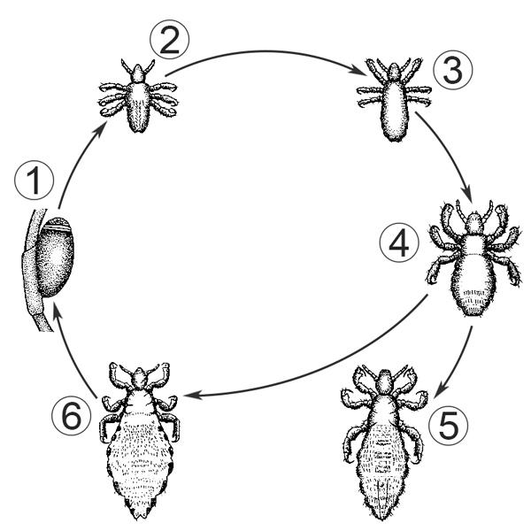 Семейство Педикулиды - Жизненный цикл головной вши