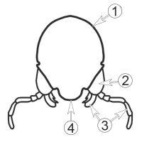 Гипофаринкс - Гипофаринкс. Схема строения головы, </p>вид спереди