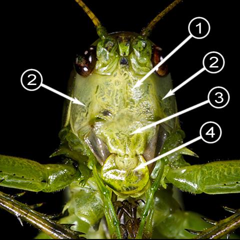 Лоб - Строение головы насекомого