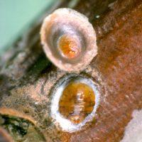 Щиток - Калифорнийская щитовка
