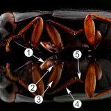 Сегментарное строение тела насекомых - Строение типичной ноги