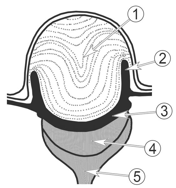 Стеммы - Схема строения стеммы </p>личинки жука-прыгуна