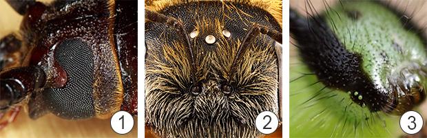 Зрение насекомых - Глаза насекомых