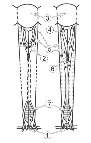 Зрение насекомых - Омматидий