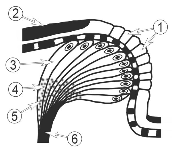 Зрение насекомых - Схема строения простого глазка