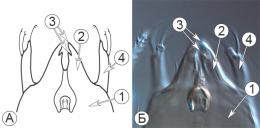 Типы ротовых аппаратов клещей - Грызущий ротовой аппарат </p>у клеща домашней пыли