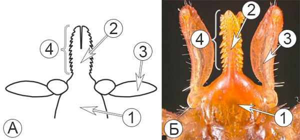 Типы ротовых аппаратов клещей - Колюще-сосущий ротовой аппарат </p>иксодового клеща