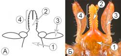 Колюще-сосущий тип ротового аппарата клещей -   Колюще-сосущий ротовой аппарат </p> иксодового клеща