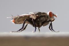 Трахейная система - Комнатная муха