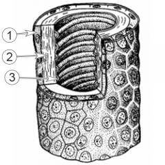 Трахеи насекомых - Микроструктура стенки трахеи