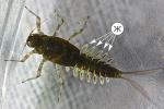 Жабры насекомых - Жабры у личинки поденки