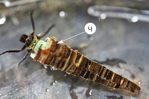 Жабры насекомых - Ручейник