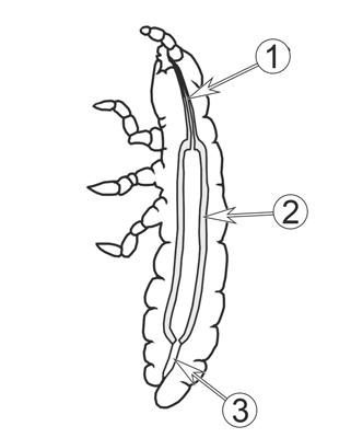Пищеварительная система насекомых - Кишечник насекомых