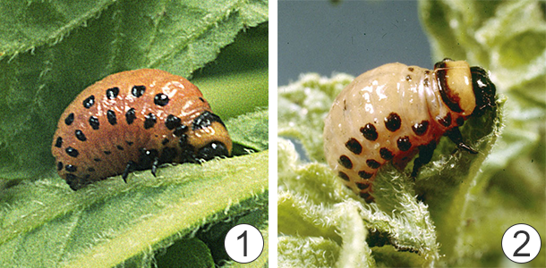 Жировое тело - Личинка колорадского жука