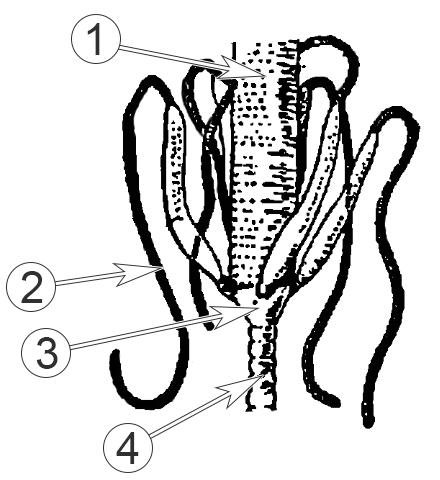 Мальпигиевы сосуды - Cтроение мальпигиевых сосудов