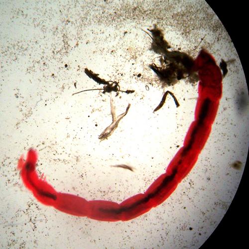 Гемолимфа - Личинка комара-дергуна – </p>насекомое с красной кровью