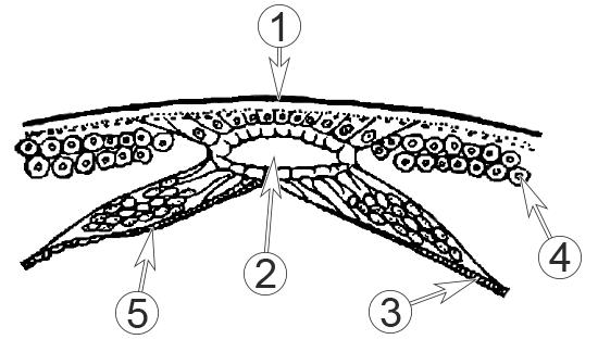 Кровеносная система насекомых - Сердце насекомого, схема, </p>поперечный срез тела