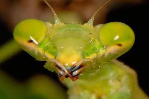 Кровеносная система насекомых - Утолщения оснований усиков богомола – </p>место расположения пульсирующих органов