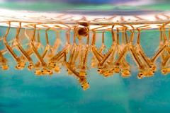 Кровеносная система насекомых - Личинки комара Culex
