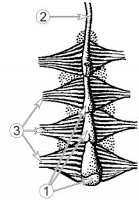 Сердце насекомых - Строение сердца насекомых, схема, вид сверху