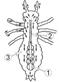 Сердце насекомых - Направления кровотока в организма насекомого