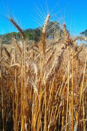 Удобрения - Пшеница – культура с невысоким выносом