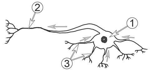 Нервная система насекомых - Типичное строение нейрона