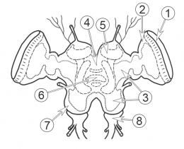 Нервная система насекомых - Головной мозг насекомых