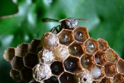 Органы чувств насекомых - Рабочая пчела на гнезде