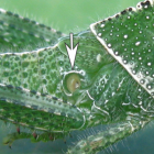 Органы чувств насекомых - Орган слуха на брюшке